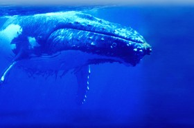 Humpback Whale Swimming Underwater
