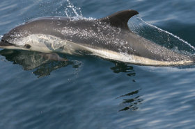 Atlantic White-Sided Dolphin Swimming