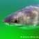 Great White - watermarked AWSC
